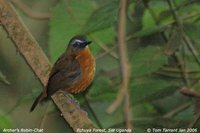 Archer's Robin-Chat - Cossypha archeri