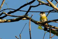Green-backed  becard   -   Pachyramphus  viridis   -