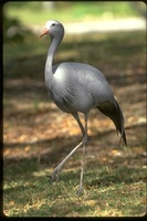 : Anthropoides paradisea; Stanley, Blue Crane