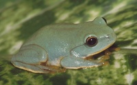 : Rhacophorus owstoni; Owston's Green Tree Frog