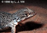 Image of: Gambelia wislizenii (long-nosed leopard lizard)
