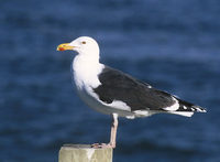 Great Black-backed Gull (Larus marinus) photo
