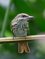 Streaked Flycatcher (Myiodynastes maculatus) photo