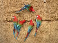 Red-and-green Macaw - Ara chloroptera