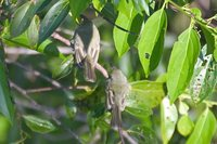 Olive-green Tyrannulet - Phylloscartes virescens