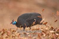 helmeted guinea fowl foraging stock photo