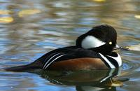 A Hooded Merganser on water. It has a black, white and brown body, and bright yellow eyes.