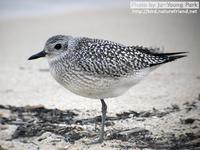 Fig.02 개꿩 Grey Plover