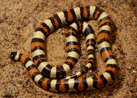 : Lampropeltis triangulum; Plains And Pale Milk Snake Intergrade