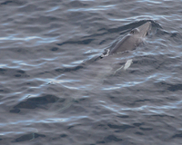 Minke Whale Photograph by Mark Breaks