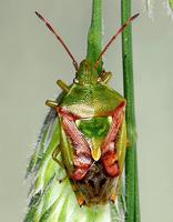 Cyphostethus tristriatus - Juniper Shield bug