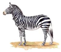 Image of: Equus zebra (mountain zebra)