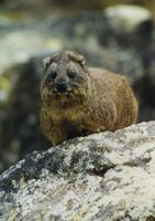 Image of: Procavia capensis (rock hyrax)
