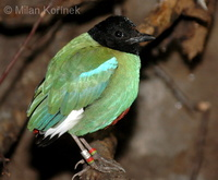 Pitta sordida - Hooded Pitta