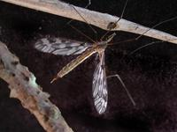 Image of: Tipulidae (crane flies)