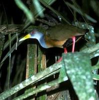 Image of: Aramides cajanea (grey-necked wood-rail)