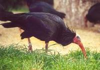 Image of: Geronticus eremita (northern bald ibis)