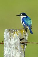 Forest Kingfisher