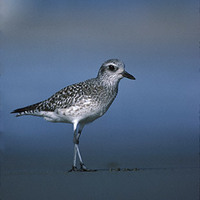 Black-bellied Plover (Pluvialis squatarola) photo