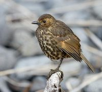 Tristan Thrush (Nesocichla eremita) photo