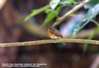 Tickell's Blue-Flycatcher - Cyornis tickelliae