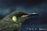 Graceful Honeyeater - Meliphaga gracilis