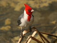 *NEW* Red-crested Cardinal