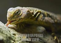 Dabb Lizard ( Spiny Tailed Lizard ) stock photo