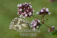Marbled White ( Melanargia galathea ) on Thyme , ( Thymus vulgaris ) stock photo