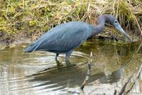 little blue heron.jpg (97765 bytes)