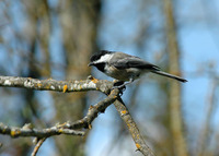 : Poecile atricapilla; Black-capped Chickadee
