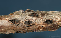 : Callirhytis perdens; Ruptured Twig Gall Wasp;