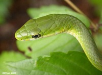 : Opheodrys aestivus; Rough Green Snake;