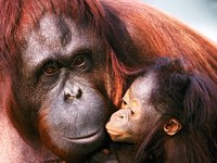 photograph of orang-utan kissing her mother