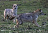 Image of: Canis aureus (golden jackal)