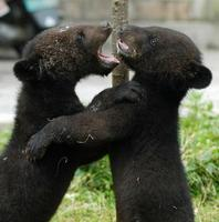 Image of: Ursus thibetanus (Asiatic black bear)