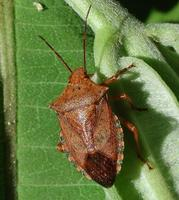 Image of: Pentatomidae (stink bugs and terrestrial turtle bugs)
