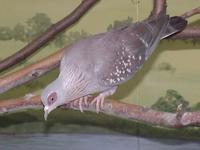 Image of: Columba guinea (speckled pigeon)