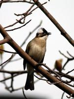 Image of: Pycnonotus sinensis (light-vented bulbul)