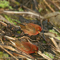 Blanford's Rosefinch - Carpodacus rubescens