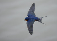 Barn Swallow (Hirundo rustica) photo