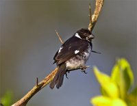 Variable Seedeater - Sporophila corvina