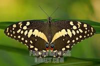citrus swallowtail at dusk stock photo