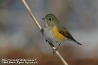 Fig. 3. Red-flanked Bluetail : 유리딱새