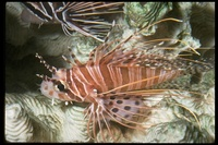 : Pterois antennata; Broadbarred Firefish