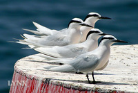 Black-naped Tern 黑枕燕鷗