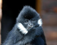 Image of: Nomascus leucogenys (northern white-cheeked gibbon)