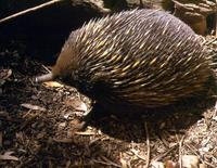 Image of: Tachyglossus aculeatus (short-beaked echidna)