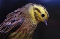 Emberiza citrinella - Yellowhammer