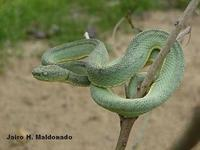 Image of: Bothriopsis bilineata (two-striped forest pit viper)